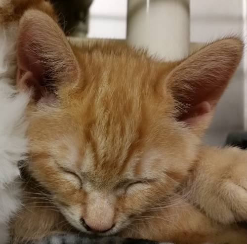 Jimmy orange tabby kitten
