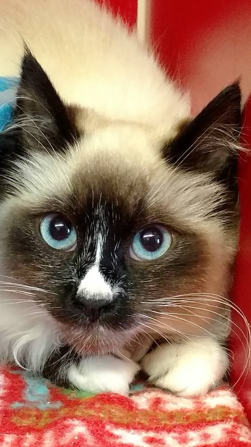 BOLT - an adorable snowshoe Siamese kitten. He has medium long fur, and is about 4 months old.