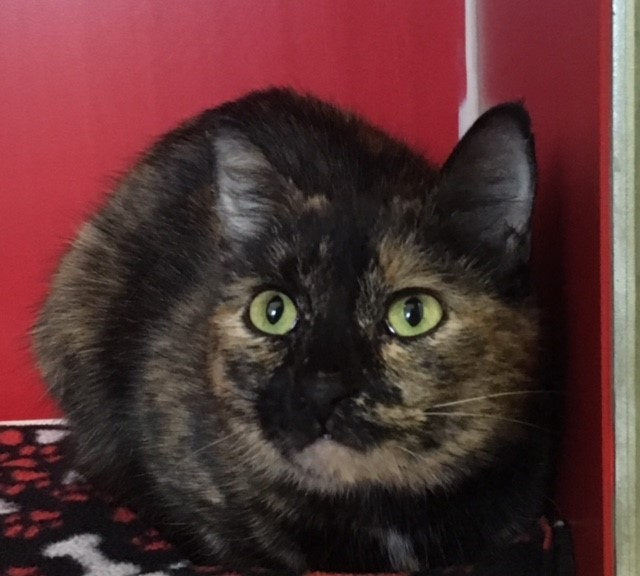 Adult short-haired spayed female tortie